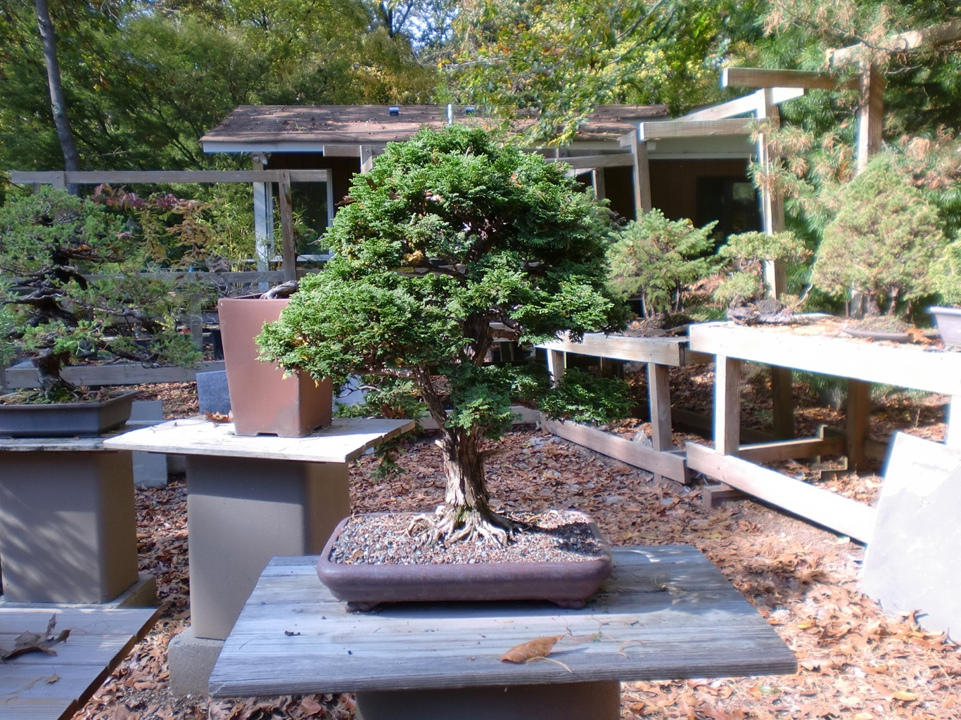 Bonsai Gardens Of The Northeast Part 2 Japanese Pots Blog Wiring Yew Very Old Hinoki Cypress At Rosade Studio