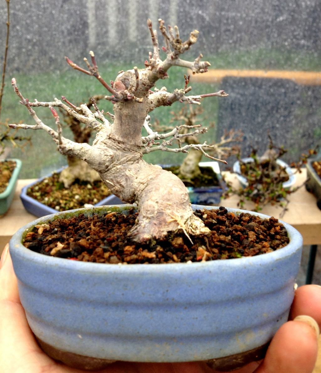 shohin and mini maple up on the for sale page japanese bonsai pots