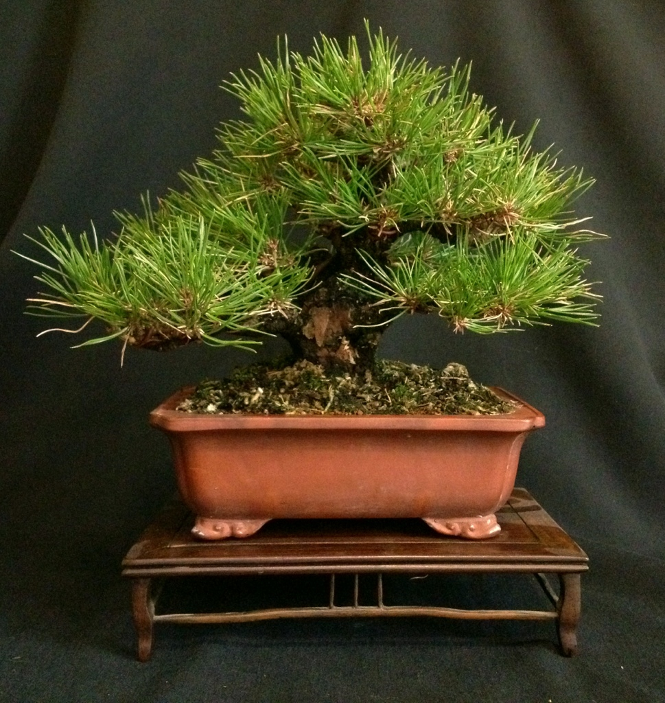trees go up for sale on facebook japanese bonsai pots blog. Black Bedroom Furniture Sets. Home Design Ideas