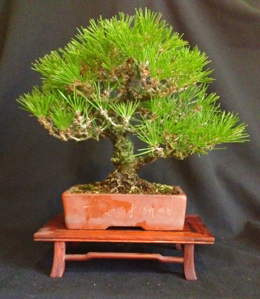 trees go up for sale on japanese bonsai pots